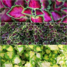 Coleus Great Falls Ast 18