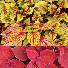 Coleus TN Color Clouds Ast 18