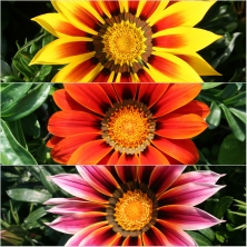 Gazania Giants Summer Glow 18