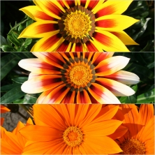 Gazania Giants Tropical Summer 18