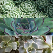 1Succulents Mohave Ast 18 - top