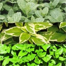 Herb Salad Ast 18