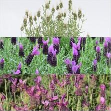 Lavender LeVela Ast 18