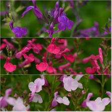 Salvia Mirage Ast 18