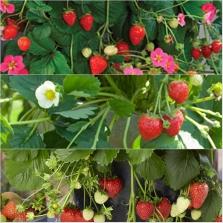 Strawberry Ast 18
