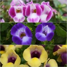 Torenia Summer Wave Bouquet Ast 18