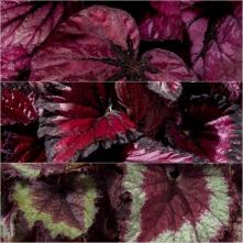 Begonia Rex Ast 18