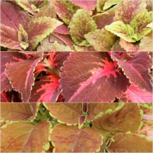 Coleus Country
