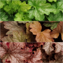 Heuchera Ferris Wheel 18
