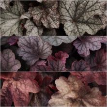 Heuchera Zipper 18