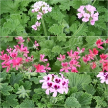 Geranium Scented Assorted